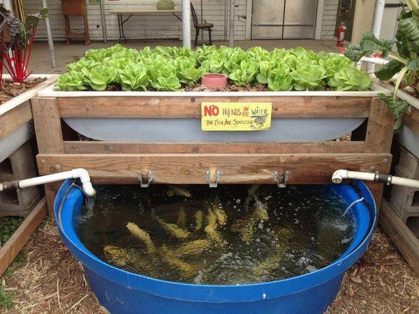aqua tanks: Aquaponics shrimp vegetables
