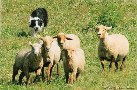 Dog Barks Sheep