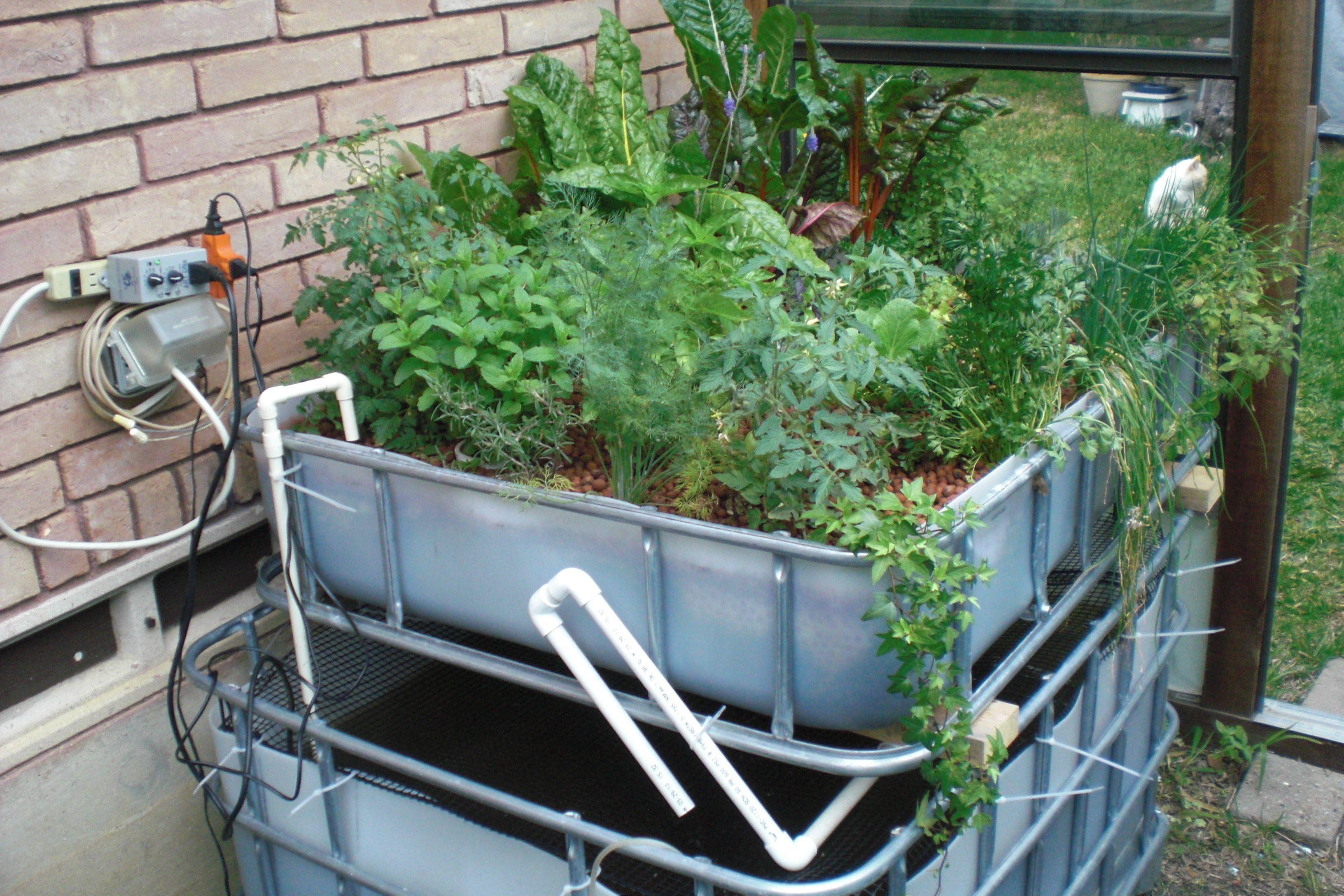 Simple aquaponics system how to grow tomatoes in for Fish for aquaponics